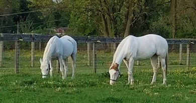 """Lily, left, and Anita are both making great strides in their recovery. Photo: Omega Horse Rescue and Rehabilitation Center """"Kelly Smith""""/Facebook"""