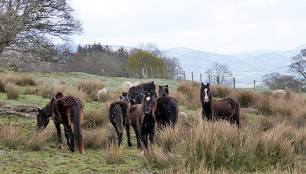 Eleven horses and a foal were removed from Llangynidr Common in southern Wales. Photo: Redwings