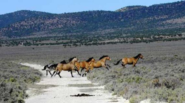 roaming horses receive got been described equally a widespread conservation challenge past times 2 American  Wild horses a widespread conservation challenge, tell rangeland scientists