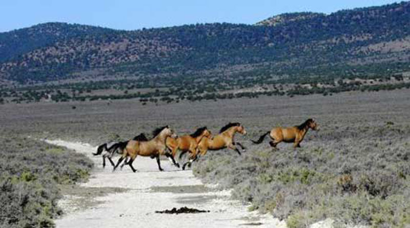 Wild horses in Nevada's Triple B Herd Management Area. Photo: BLM