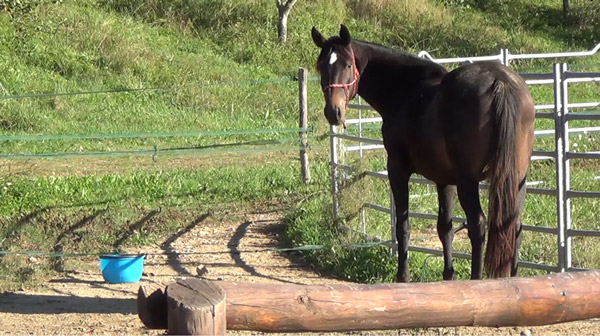 A horse gazes back at the experimenter, with the bucket of food out of reach.