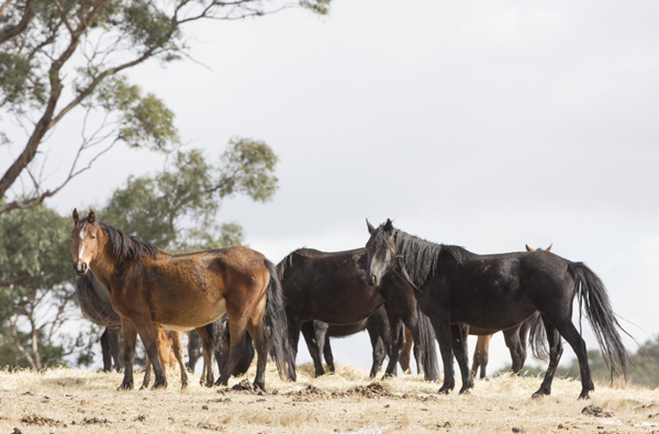 A herd of wild Brumbies. © Christiane Slawik