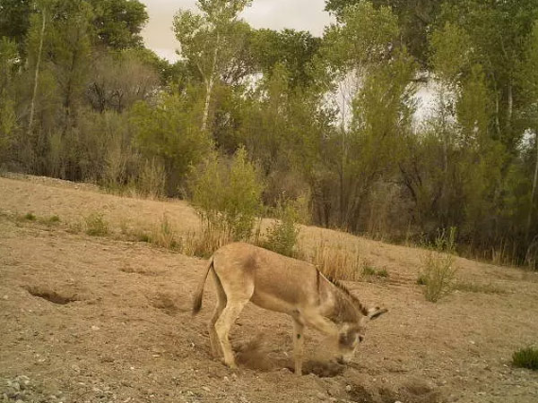 The first image Erick Lundgren recorded of a digging burro.