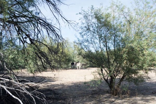 Burros near a spot to make a new water hole.