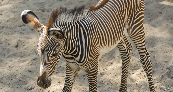 Lincoln Park Zoo's new Grevy's Zebra filly foal.