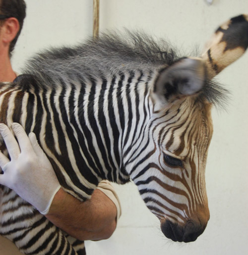 Virginia Zoo's new Hartmann's mountain zebra filly foal, who was born on June 2.