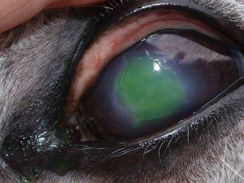 Corneal injuries are one of the most common vision-threatening and painful eye diseases that occur in horses.