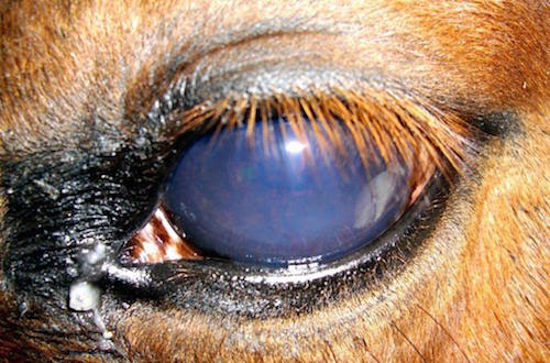 Equine recurrent uveitis or moon blindness is an inflammation of the iris that can be caused by trauma, infections in other parts of the body, the horse's own immune system, or genetics, in the case ofappaloosa and draft breeds.