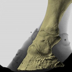 "Equine lameness: From ""irreversible"" navicular to serviceably sound"