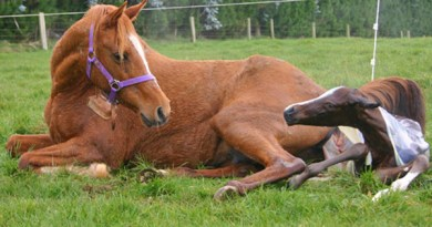 Rate of sexual development in colts affected by broodmare diet, study finds