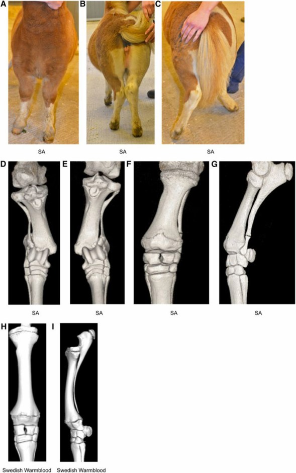 Limbs of a 16-week-old Shetland pony with skeletal atavism. (A) View from the front when standing square, (B) caudal view when standing, and (C) caudal view at walk. Complete fibulas and ulnas cause instability in the tarsocrural and antebrachiocarpal joints, respectively; angular limb deformities become more severe at walk. (D–G) Computed tomography scans of the 16-wk-old Shetland pony's gaskin and forearm. Dorsal views of tibia and complete fibula, right (D) and left (E) hind limbs. (F) Dorsal and (G) lateral views of left front limb radius and complete ulna. (H) Computed tomography scans showing dorsal and (I) lateral views of normally developed radius and ulna, with the ulna about to be fused to the radius, of a 16-wk-old nonatavistic Swedish Warmblood foal.