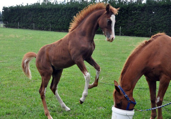 Horse play between individuals is common. It transpires the same language of play can apply when horses choose to have fun with dogs.