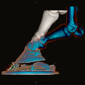 3D model of a shod foot with packer comparing hoof deformation in walk (white) and trot (blue)
