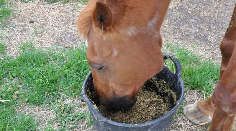 Owners will often add salt to the daily rations of horses in work, but how much is too much?