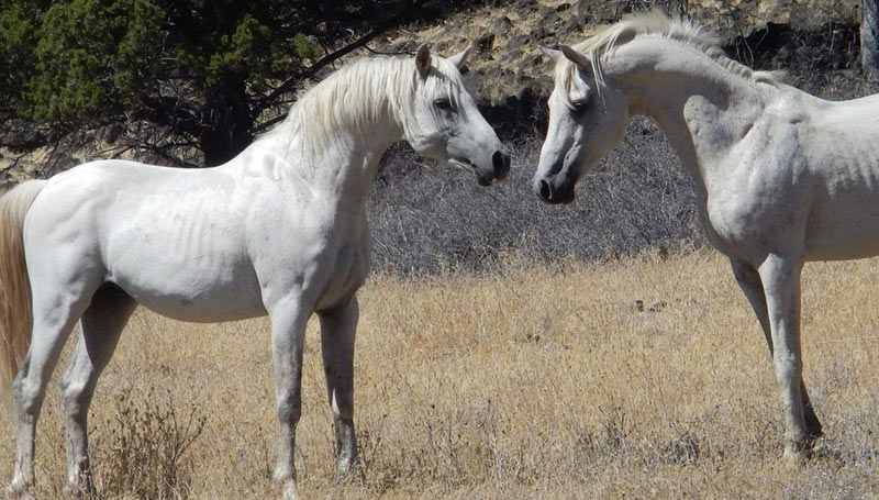 """""""Can Arabian horses survive in wilds of a mountain wilderness? Yup! We have two wild (feral) Arabians that range on our lands ... and they are special,"""" writes Will Simpson."""