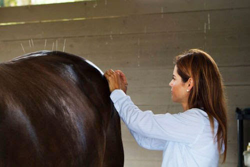 Dr Natalia Novoa performs acupuncture on a horse.