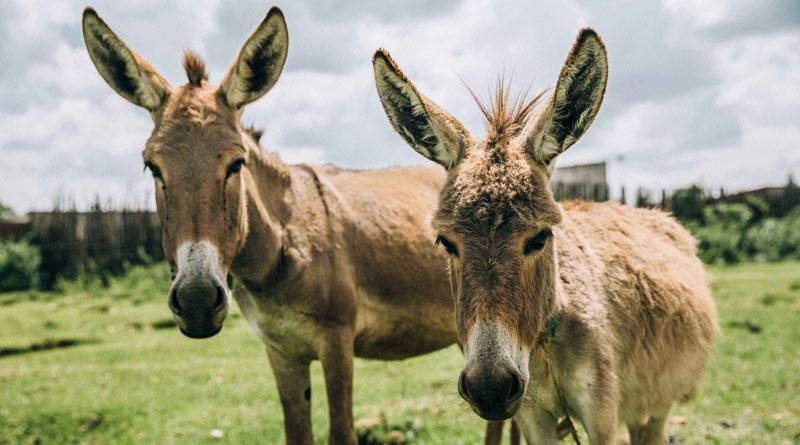 Working donkeys in Kenya. © Brooke / Freya Dowson
