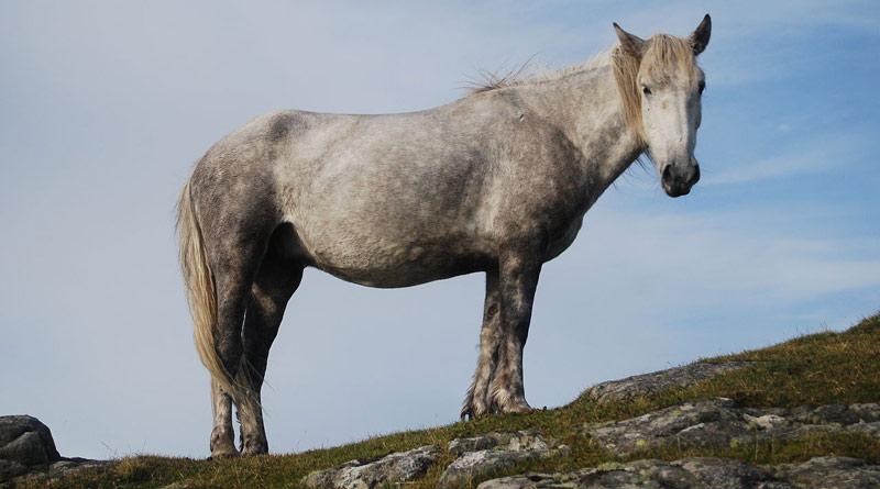 An Eriskay pony.©Mipmapped, CC BY-SA 3.0, viaWikipedia.