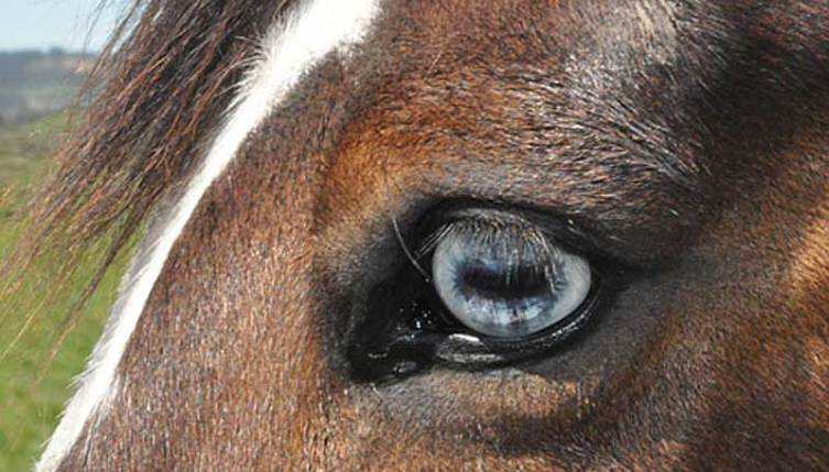 Researchers set about investigating the potential use of the blink rate to evaluate stress in domestic horses.