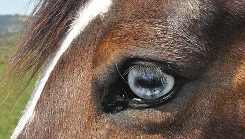 The study focused on 46 Brazilian police horses. Photo: File