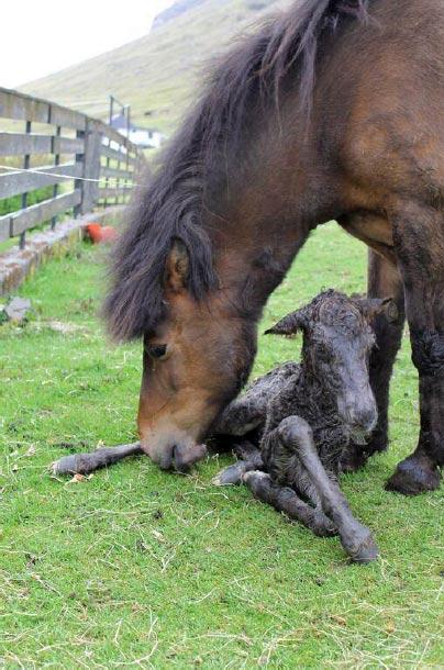 The average inbreeding coefficient of Faroe Island horse breeding animals is 25.6%.