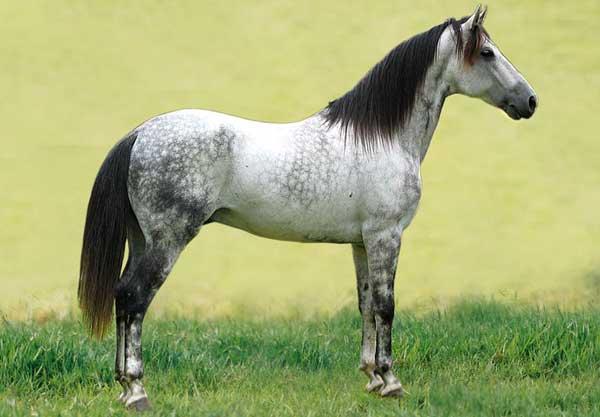 A Mangalarga Marchador horses. Photo: No machine-readable author provided. Pbicalho assumed (based on copyright claims). CC BY-SA 2.5, via Wikimedia Commons