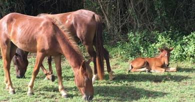 The feral horses of Puerto Rico's Vieques Island are descended from stock brought by European colonists.