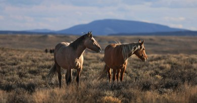 The HSUS successfully fought back the Wild Horse and Burro Advisory Board's recommendation to euthanize 45,000 horses in holding facilities, and helped secure assurances from the Bureau of Land Management that no healthy horses are to be euthanized.