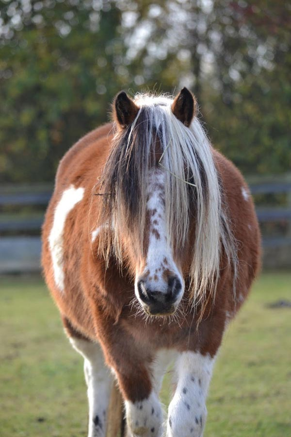 Bodmin pony Bracken is among those brought to Blue Cross in an operation late last year.