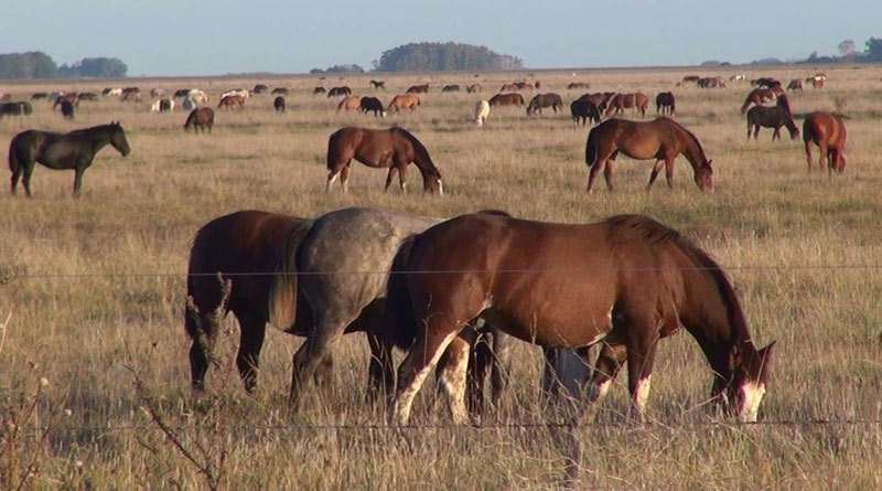 Hundreds of mares grazing in open fields.