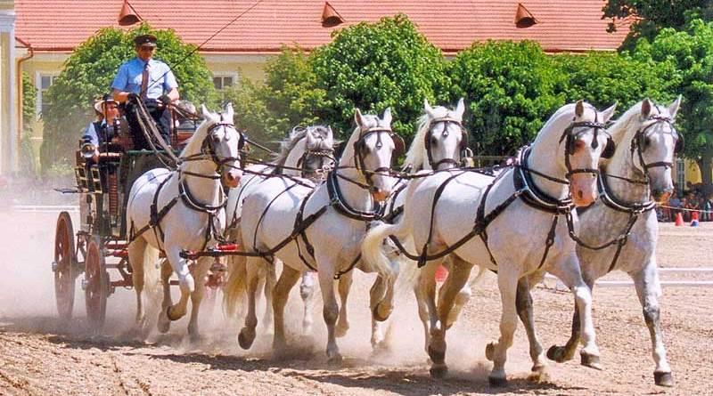 Kladruber horses in harness. Photo: Lubomír Havrda CC BY 3.0 via Wikimedia Commons