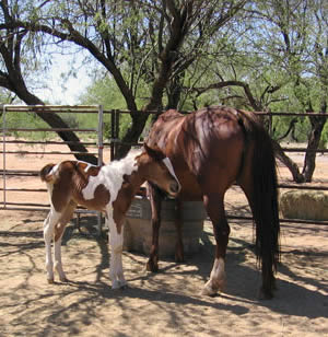A paint filly and her mother, a young mare rescued from a Canadian Premarin farm.