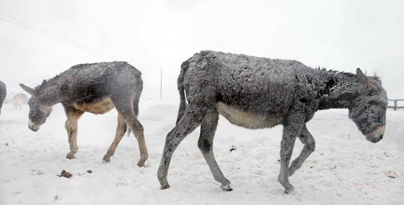Donkeys are struggling with the conditions in Abruzzo, but help is on its way.