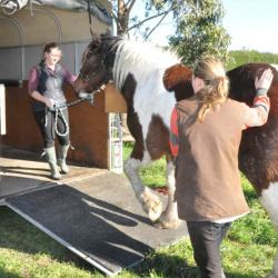 Risk of horse injuries during loading increases if a whip is used, researchers find