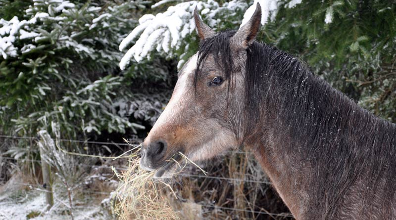 "Most of your horse's diet comes from hay, so feeding it without knowing what's in it can be a dangerous mistake. You need to know if it is low enough in sugar and starch, as well as its caloric content so you can allow him to ""graze"" on it."