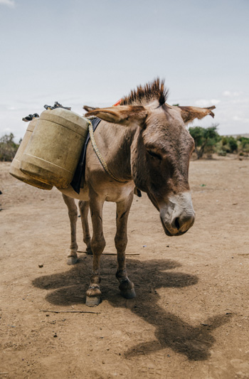 It is estimated that the work of one donkey supports a family of six in Kenya.