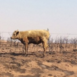 Many cattle perished in the Texas Panhandle wildfires, but others that survived will need to be examined by a veterinarian as soon as possible. © Texas A&M AgriLife / Andy Holloway