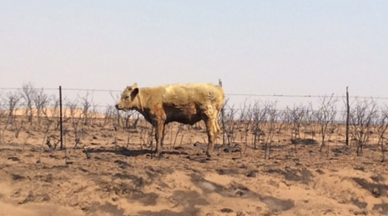 Many cattle perished in the Texas Panhandle wildfires, but others that survived will need to be examined by a veterinarian as soon as possible.