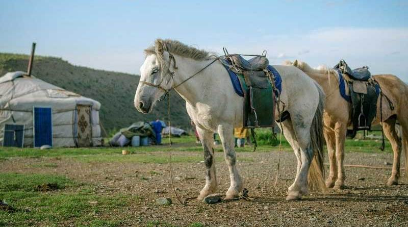 Domestic horses form the center of nomadic life in contemporary Mongolia. Photo: P. Enkhtuvshin