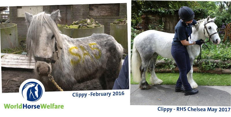 Just after a year following his rescue, Clippy was the star of the show at Chelsea.