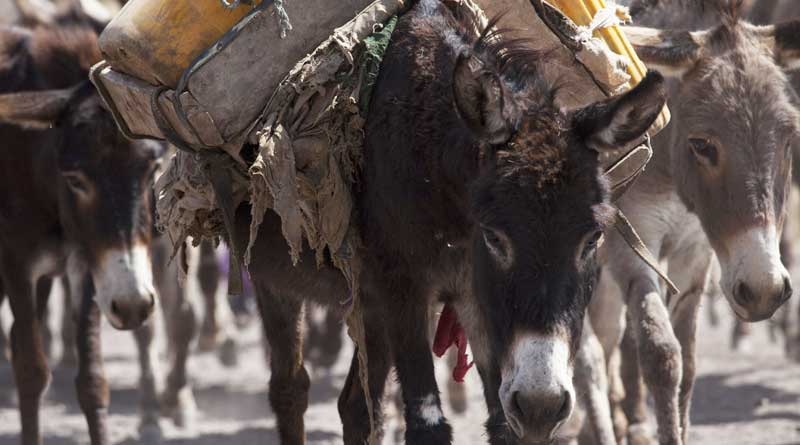It is hoped that a new global animal welfare strategy will help improve the lot of donkeys and other working animals around the globe. Photo: The Donkey Sanctuary