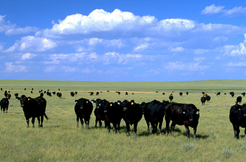 Cattle grazing in South Dakota.