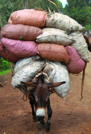 A working donkey in Ethiopia struggles under a heavy load.