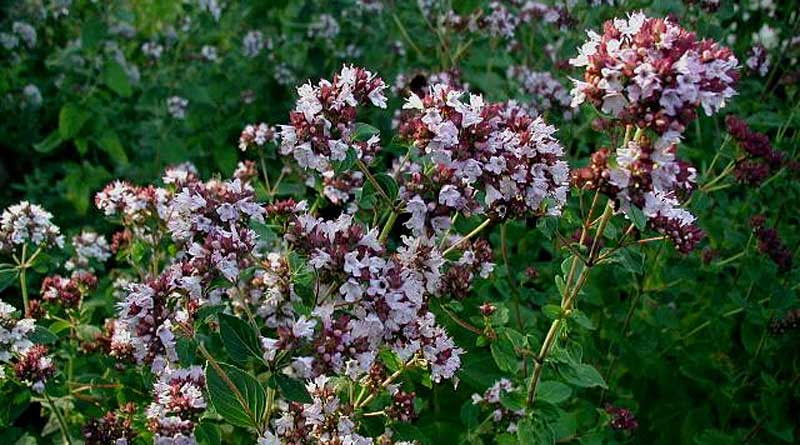 Origanum vulgare. Photo: Sten Porse, GNU Free Documentation License, https://en.wikipedia.org/wiki/en:GNU_Free_Documentation_License via Wikimedia Commons