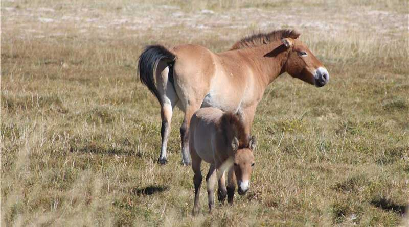 The diet of Przewalski's horses changed to grass after their reintroduction in the Gobi desert. Photo: Martina Burnik Sturm/Vetmeduni Vienna