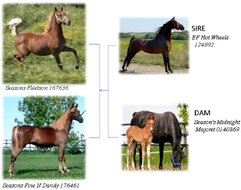 Flaxen inheritance patterns in chestnut morgan horses: The preliminary results found that a flaxen chestnut sire mated with a flaxen chestnut dam consistently produces flaxen chestnut offspring, while a non-flaxen chestnut sire mated with a non-flaxen chestnut dam consistently produces non-flaxen chestnut offspring. The expression of the trait among parents and offspring is highly variable (see photos above), and the inheritance mode appears to be more complicated than a simple recessive when a flaxen mates with a non-flaxen or when non-chestnut horses are involved. The genetics of the flaxen trait in Morgans are still not well understood. Non-flaxen parents may produce flaxen chestnut offspring.
