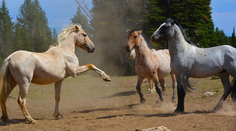 Pryor Mountain wild horses on the Montana-Wyoming border.