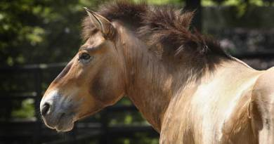 Minnesota reached the age of 29, almost the twice the average age that Przewalski's horses generally reach in human in care. Photo: Jessie Cohen, Smithsonian's National Zoo