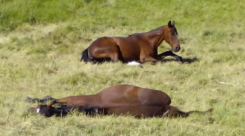 Could the sleep patterns of horses provide insights into health issues? Photo: File