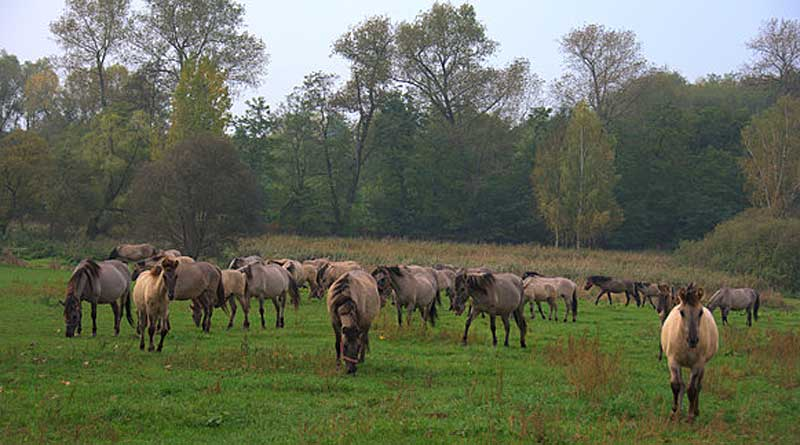 The Polish Primitive Horse herd at Kobylniki national stud in Wielkopolska, Poland. Photo: Dr Grzegorz Cholewinski DOI: 10.7717/peerj.3714/fig-1